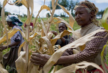 Farmers inspecting drought-affected corn in Kenya (photo: AFP)